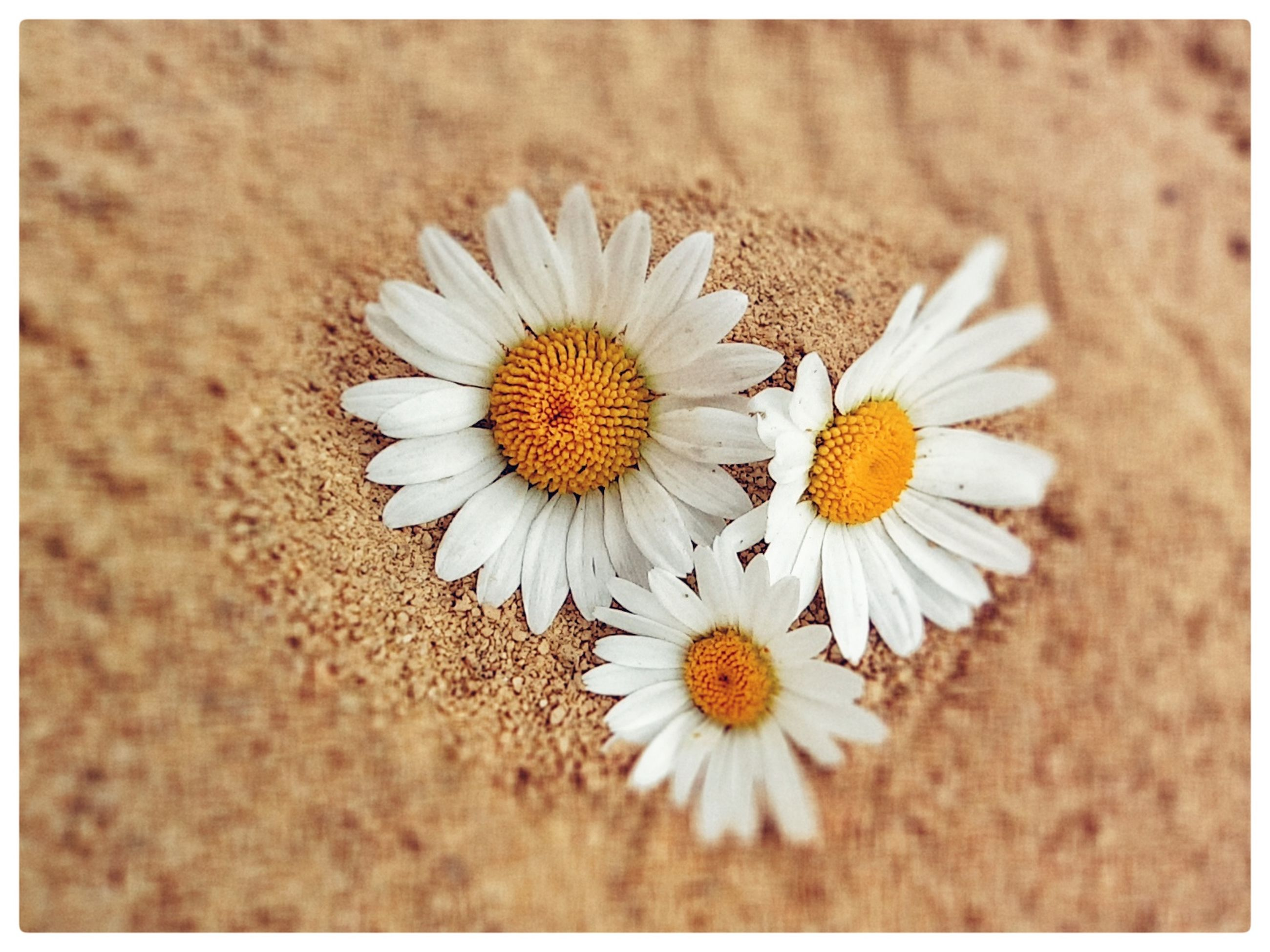 flower, flowering plant, plant, freshness, beauty in nature, fragility, flower head, nature, close-up, petal, auto post production filter, daisy, transfer print, pollen, inflorescence, no people, growth, white, yellow, land, outdoors, directly above, day, high angle view
