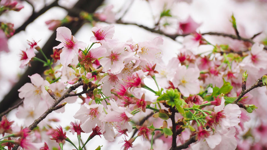 Blooming cherry blossom in Summer Japanese  Taiwan Beauty In Nature Blooming Blossom Bunch Of Flowers Cherry Blossom Cherry Tree Close-up Day Flower Flower Head Flowering Plant Flowers Fragility Freshness Garden Growth Nature Outdoors Petal Pink Color Plant Springtime Tourism