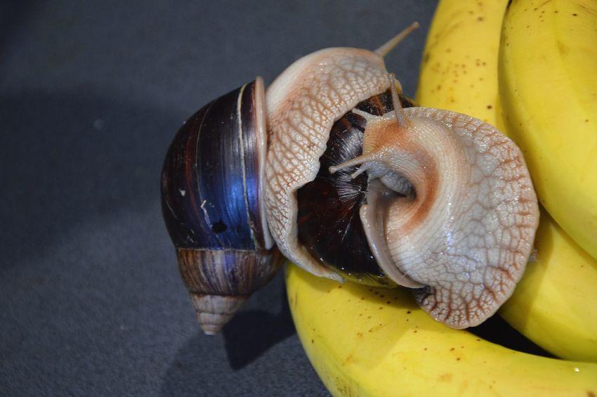 Pet Portraits Snail Snail🐌 Snails Snails🐌 Snail Collection Snail Photography Achatina Achatina Fulica Banana