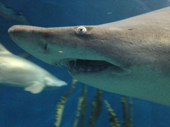 Shark in water Blue Close-up Day Fish Leisure Activity Lifestyles Marine Life Nature Ocean Part Of Sea Shark Water