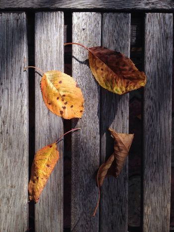Wood - Material Autumn Leaf No People Fruit Outdoors Change Day Studio Shot Rustic Nature Freshness Close-up Food Beauty In Nature