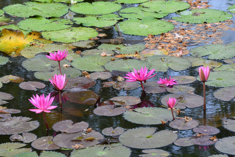 Pink lotus water lily in lake