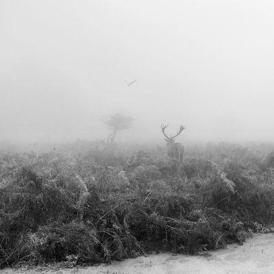 Blackandwhite Deer Fog Mist Nostalgia Park Quiet Romantic Scenery Silence Stag Tranquil Scene Tranquility