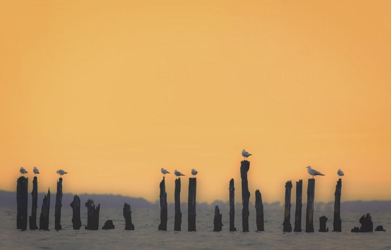 Birds perching on wooden posts in sea against clear sky during sunset