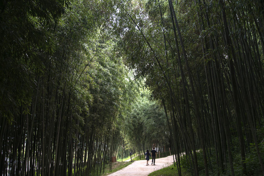 Juknokwon, the famous bamboo park in Damyang, Jeonnam, South Korea Damyang Juknokwon Bamboo - Plant Bamboo Forest Bamboo Grove Bamboo Park Beauty In Nature Day Forest Grass Growth Landscape Nature Outdoors People Tree Walking
