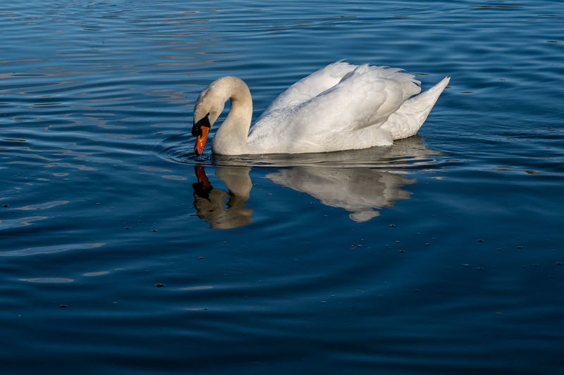 Mute swan on lake with water reflection