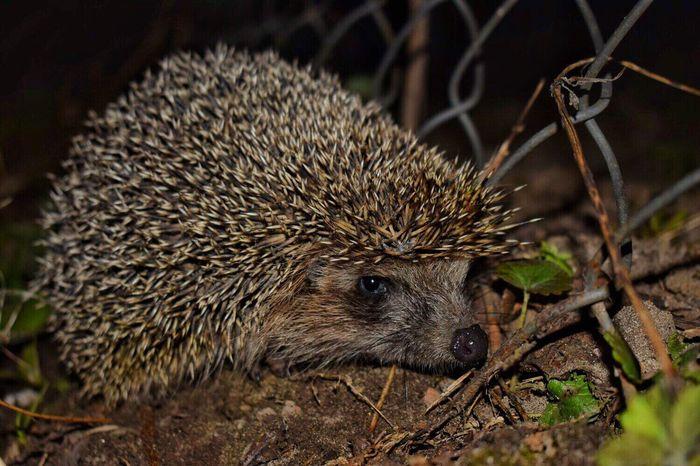 🐾🍂🐾 One Animal Hedgehog Animals In The Wild Animal Wildlife No People Animal Themes Nature Night Nature Photography Naturelovers Animal Animals In The Wild