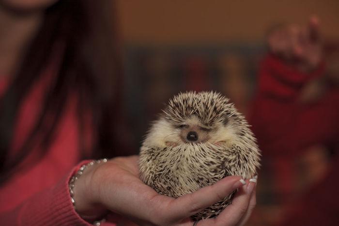 Hedgehog Lovew Baby Hedgehog Animal Themes Close-up Cute Pet Cutenessoverload Hedgehog Holding Human Hand One Animal