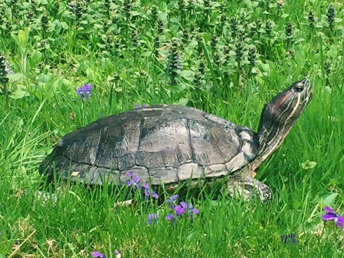 My girl Tortoise Reptile Turtle