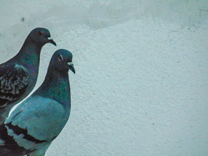 frnz....... Avian Beauty In Nature Bird Black Color Blue Close-up Day Dove Freeze Dove In The City Dove Love Dove Of Peace Focus On Foreground Nature No People Outdoors