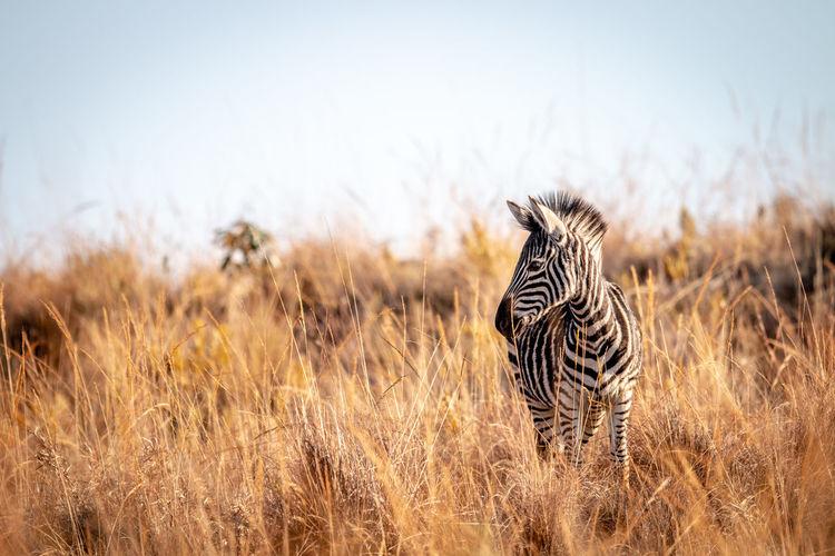 Zebra standing on land