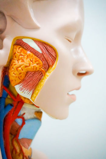 Human anatomy of cheek for educational purpose 3D HEAD Science Vein Anatomical Anatomy Biology Cheek Close-up Education Face Health Human Inside Internal Jaw Medical Model Muscles Nerves Surgery System Vascular