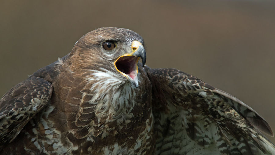 Noisy buzzard
