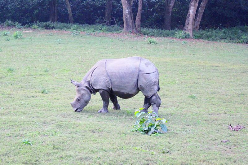 While I was riding Elephant Safari, I was able to click this picture of rare 'One Horned rhino' at Chitwan National Park, Nepal. One Horned Rhino Rhinoceros Animal Themes Animal Wildlife Field Grazing Grass Nature
