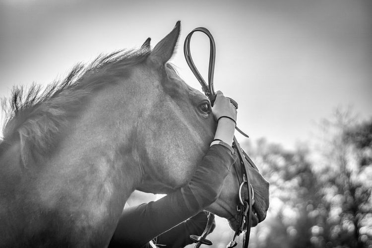 Putting a bridle on a horse