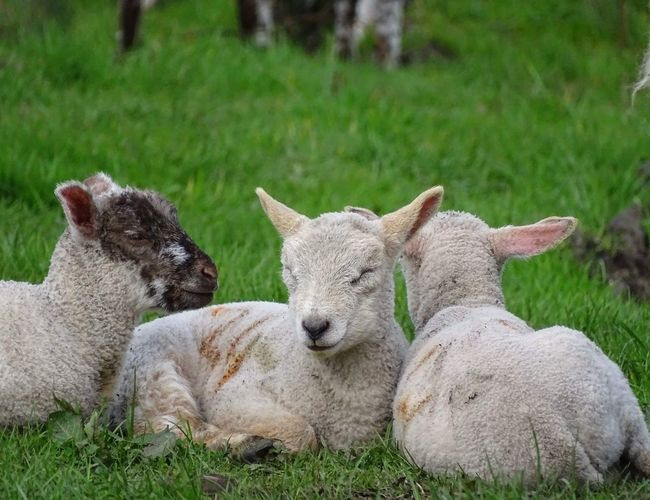 Mammal Grass Animal Themes Field Outdoors Nature Green Color Lamb Lambing Season Lambing Sheep Farming