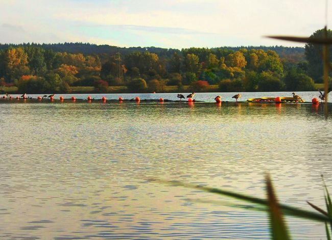 Fall 2016 Birds In The Evening Sun Water Birds Nature Landscape Lakeview Autumn Colors Golden Hour Water Evening Atmosphere Last Sunrays Of The Day Lake Kinzigsee Langenselbold Germany🇩🇪