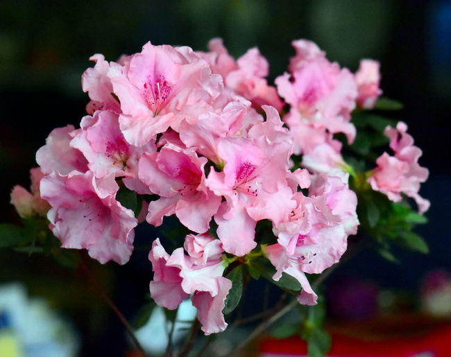 Beautiful azalea flowers Bunch Of Flowers Pollen Springtime Outdoors Selective Focus Day Focus On Foreground Nature Botany Blossom Flower Head Growth Inflorescence Close-up Petal Freshness Plant Beauty In Nature Fragility Pink Color Flowering Plant Flower Azalea In Bloom