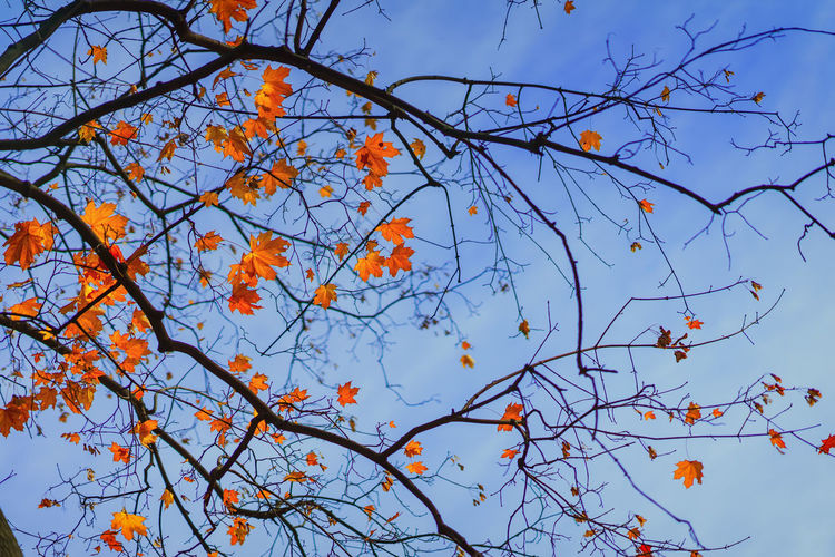 Maple branch with bright leaves in autumn in blue sky. Romantic mood, concept of nostalgia. Natural autumn picturesque background Autumn Branch Tree Low Angle View Plant Change Sky Beauty In Nature Orange Color No People Nature Day Tranquility Leaf Blue Outdoors Maple Leaf Maple Fall Bright Picturesque Scenic Seasons Vibrant Romantic