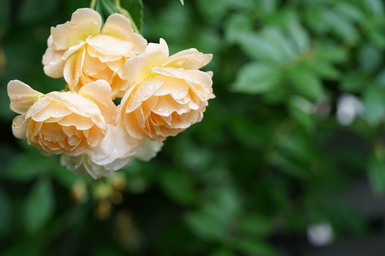 Close-up of rose plant