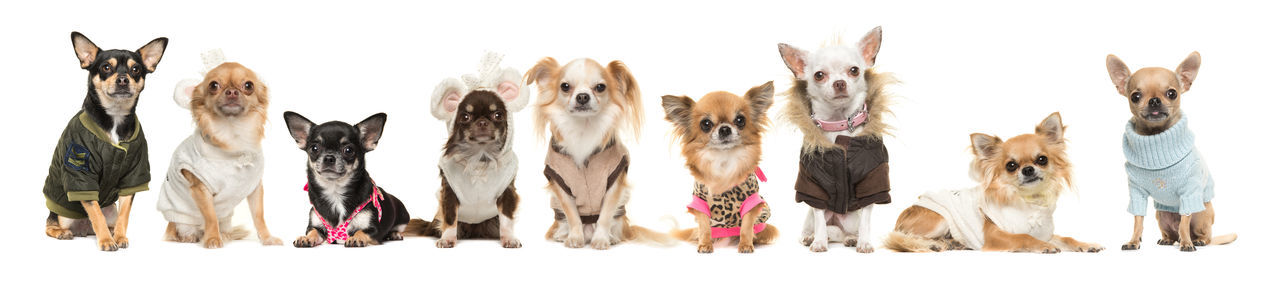 Dressed chihuahua's in a row Chihuahua Dogs Close-up Day Dogs Dressed Dog Dressed Up Dressed Up ;) Indoors  No People Panoramic Studio Shot Variation White Background