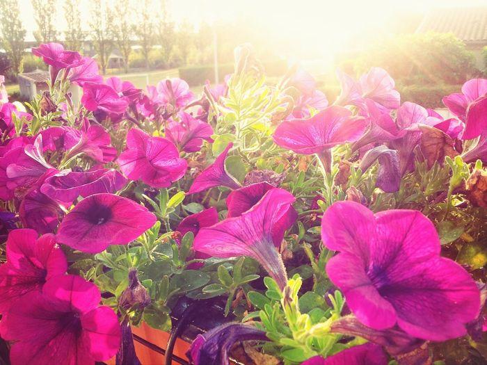 Lever de soleil sur mes belles fleurs Sunsets fleurs