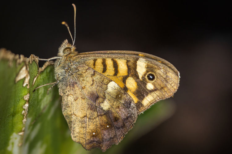 Close-up of speckled wood butterfly on leaf