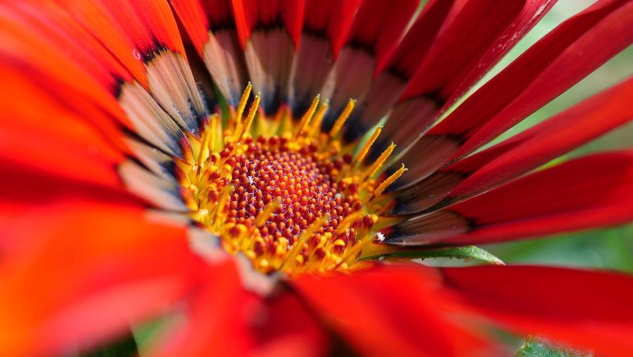 Flower Head Flower Red Petal Close-up