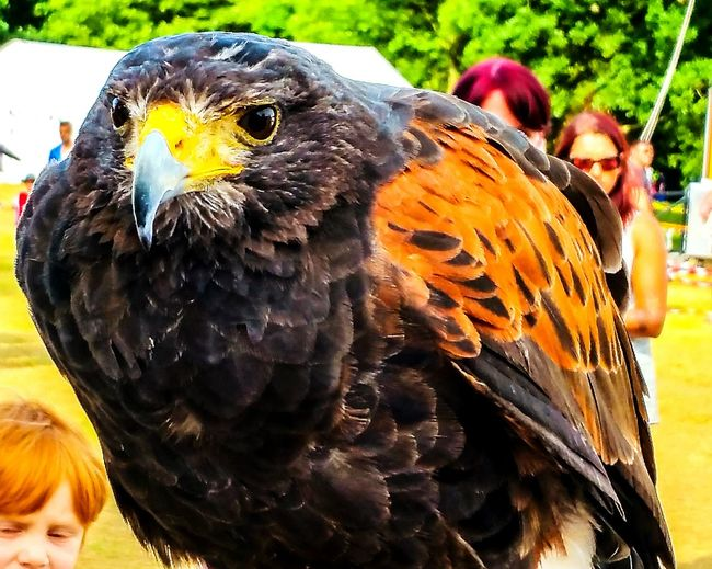 Hawk Harris Hawk  Wythenshawe Park Wythenshawe Games Birds Of Prey Eyeem Birds Lover Eyeem Birdphotography Walking Around Birds_collection