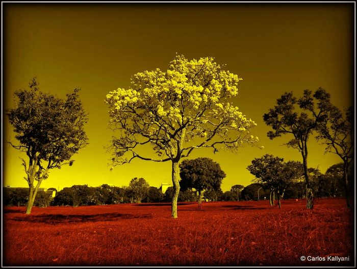 Ipê amarelo. Foto Fotografia Photography Photo Fotoart Photoshoot Brasília - Brazil City No People Tranquility Nature Tree Beauty Paisagism Paisagismo Day Arvore Arvores... 🌿❤ Ipês