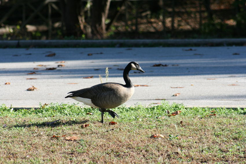 Animal Animal Themes Animal Wildlife Animals In The Wild Bird Birds Canada Geese Canada Goose Canadian Geese Close-up Day Geese Goose Horizontal Nature No People Outdoors Waterfowl Wildlife