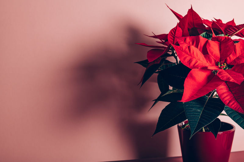 Christmas poinsettia in ceramic pot. christmas traditional red flower on pink background