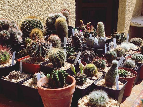 Cactus Cacti I Love Cactus