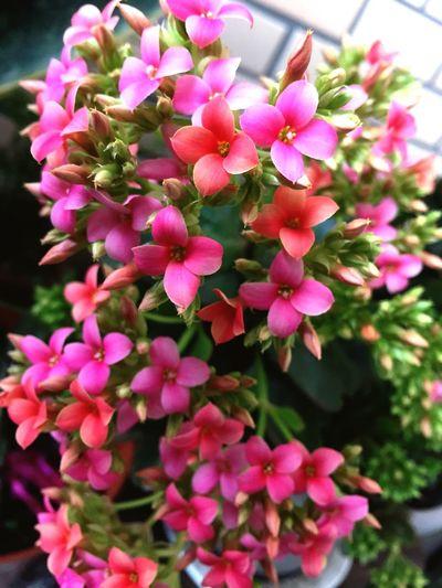 长寿花 Flaming Katy Kalanchoe Flowers Flowerporn