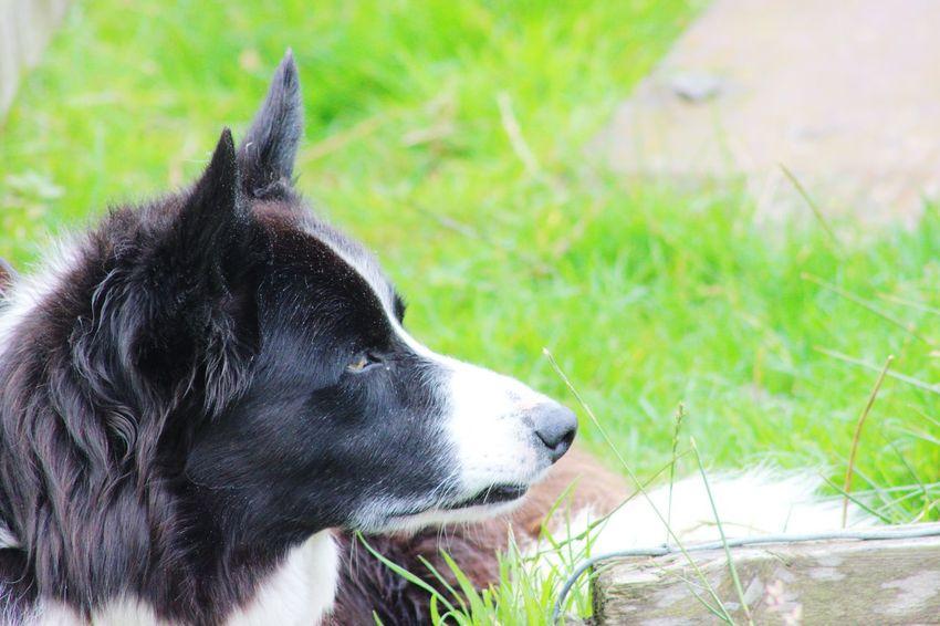 Farm Life Farm Dog Pets Dog Grass Close-up Ear
