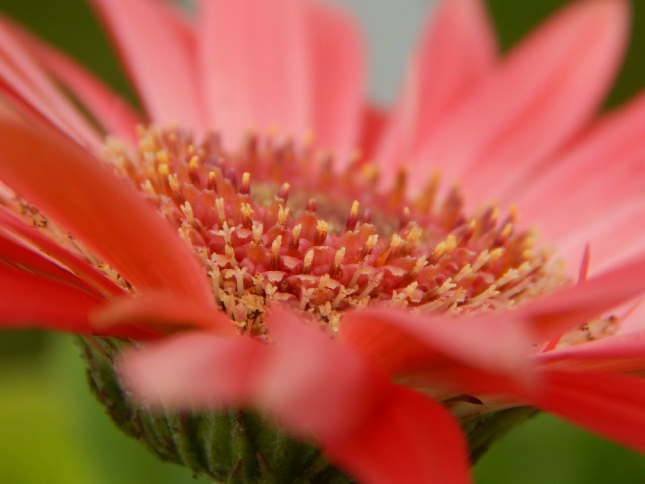 Close-Up Of Fresh Flower Blooming Outdoors