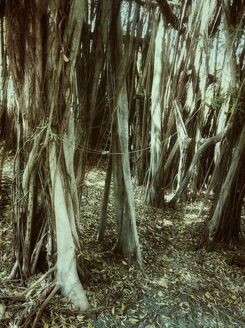 Tree Nature Tree_collection  Nature Photography Tree View Tree Photography Banyan Tree Banyan Root Of Banyan Tree Banyan Root Color Of Nature Beauty Of Nature Colorful Nature