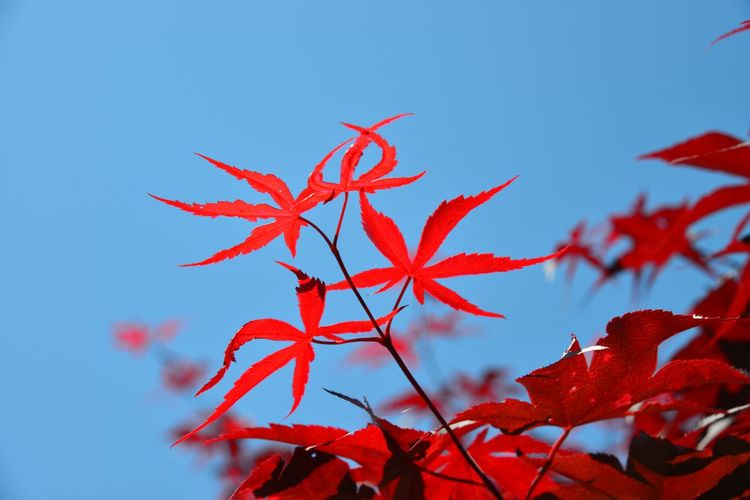 Low Angle View Of Maple Tree Against Clear Blue Sky
