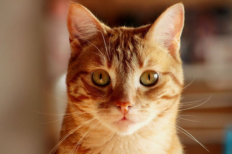 mon chat Cat Redcat Ginger Cat Portrait Feline Tabby Cat Kitten Animal Hair Animal Face