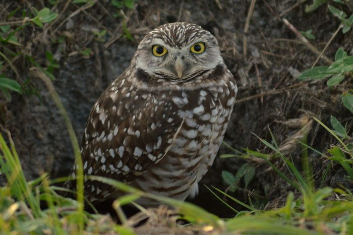 One Animal Animal Themes Bird Of Prey Bird Owl Close-up Looking At Camera Alertness Beak Nature Focus On Foreground Zoology Green Color Beauty In Nature Burrowing Owl Burrowing Owls Burrowingowl Nature Florida United States Owls Owl Eyes