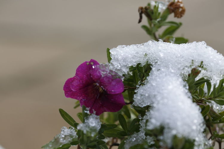 Under the snow Snow Covered Flower Snow Covered Flowers Of EyeEm Beautiful Nature Taking Photos 3XPUnity Nature Flower Head Flower Cold Temperature Winter Snow Leaf Close-up Plant Petunia In Bloom Blossom
