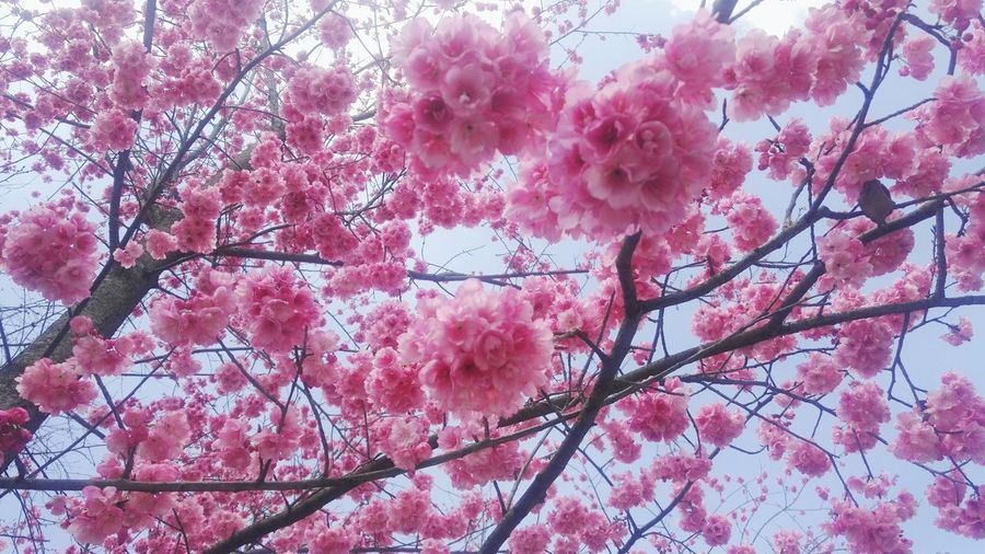 Pink Color Tree Growth Nature Flower Freshness Beauty In Nature Branch Low Angle View No People Sky Springtime Blossom Cherry Blossom Outdoors Blooming Fragility Plum Blossom Cloud - Sky Day