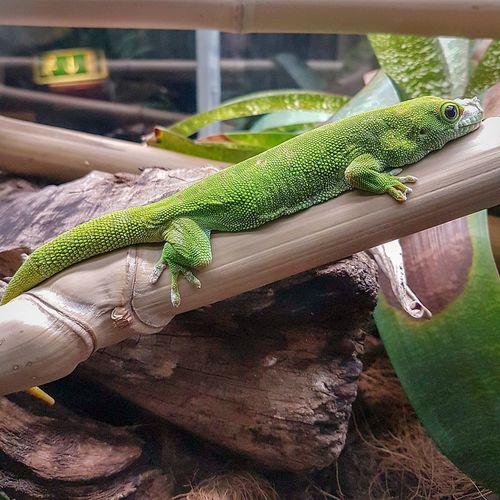 Green gecko Gecko Green Gecko Terrarium Travel Destinations Tourist Attraction  Genoa Aquarium Animal Themes Terrarium Reptile Lizard Animal Wildlife One Animal Green Color Animals In The Wild No People Animal Themes Close-up Nature Camouflage
