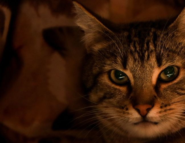 Mammal Domestic Cat Pets Feline Animal Themes Domestic Animals Domestic Cat Animal One Animal Looking At Camera Portrait Vertebrate Close-up Animal Body Part Whisker Indoors  Animal Head  No People Focus On Foreground