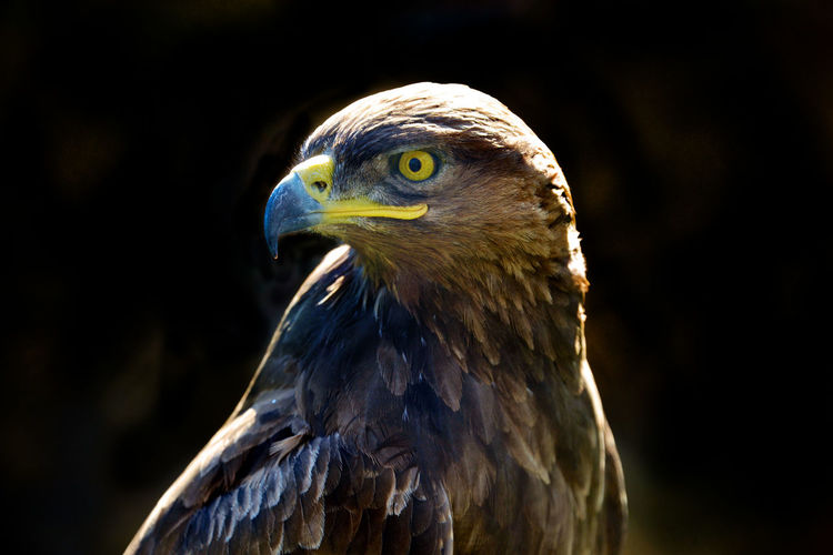 Golden eagle isolated on a dark background Animal Themes Animal Wildlife Animals In The Wild Beak Bird Bird Of Prey Close-up Day No People One Animal Outdoors