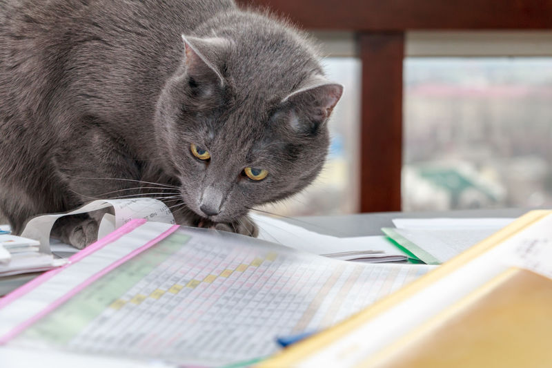 russian blue cat on the messy desk with documents Research Researcher Busy Tired Documents Budget Business Desk Economy Funny Moments Kitty Mess Messy Analysis Businessman Cat Finance Financial Financial Accounting Hilarious Kitten Messy Desk Money Paperwork Pet Report Russian Blue Russian Blue Cat Table Tax