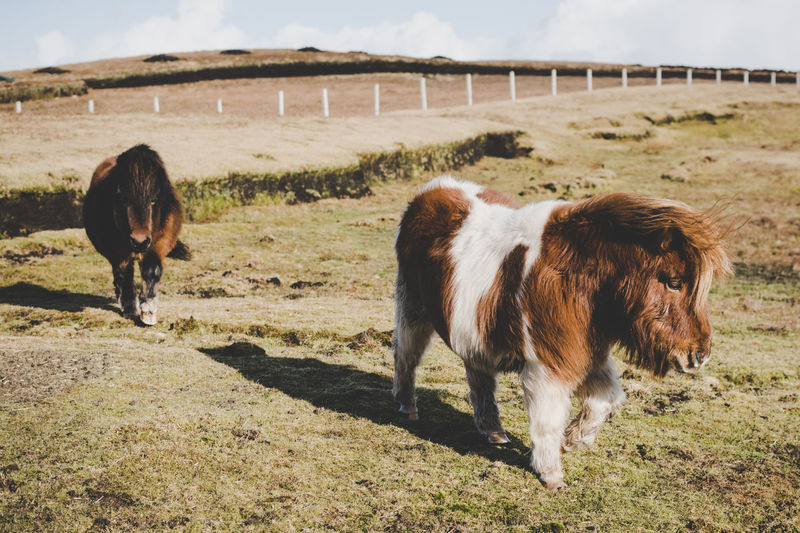 Miniature horses standing on field