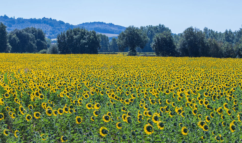 Abundance Agriculture Beauty In Nature Blooming Day Field Flower Flower Head Focus On Foreground Freshness Horizon In Bloom Nature Outdoors Petal Plant Rural Scene Sunflower Sunflowers Sunflowers🌻 Tranquil Scene Tranquility Yellow
