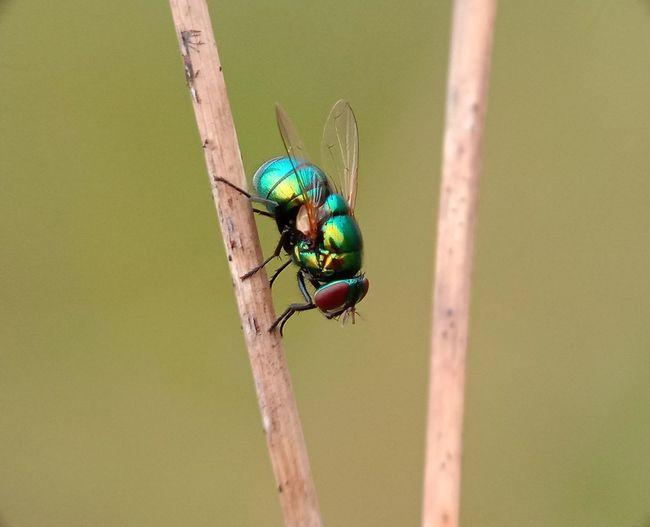 Macro Photography Macro_collection Macro Beauty Macro Nature Animalia Arthropoda Insecta Pterigota Panorpida Diptera