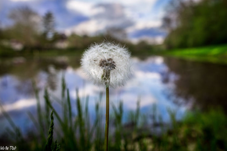 Beauty In Nature Close-up Dandelion Day Field Flower Flower Head Fragility Freshness Growth Nature No People Outdoors Plant Sky Softness Tranquility Uncultivated First Eyeem Photo